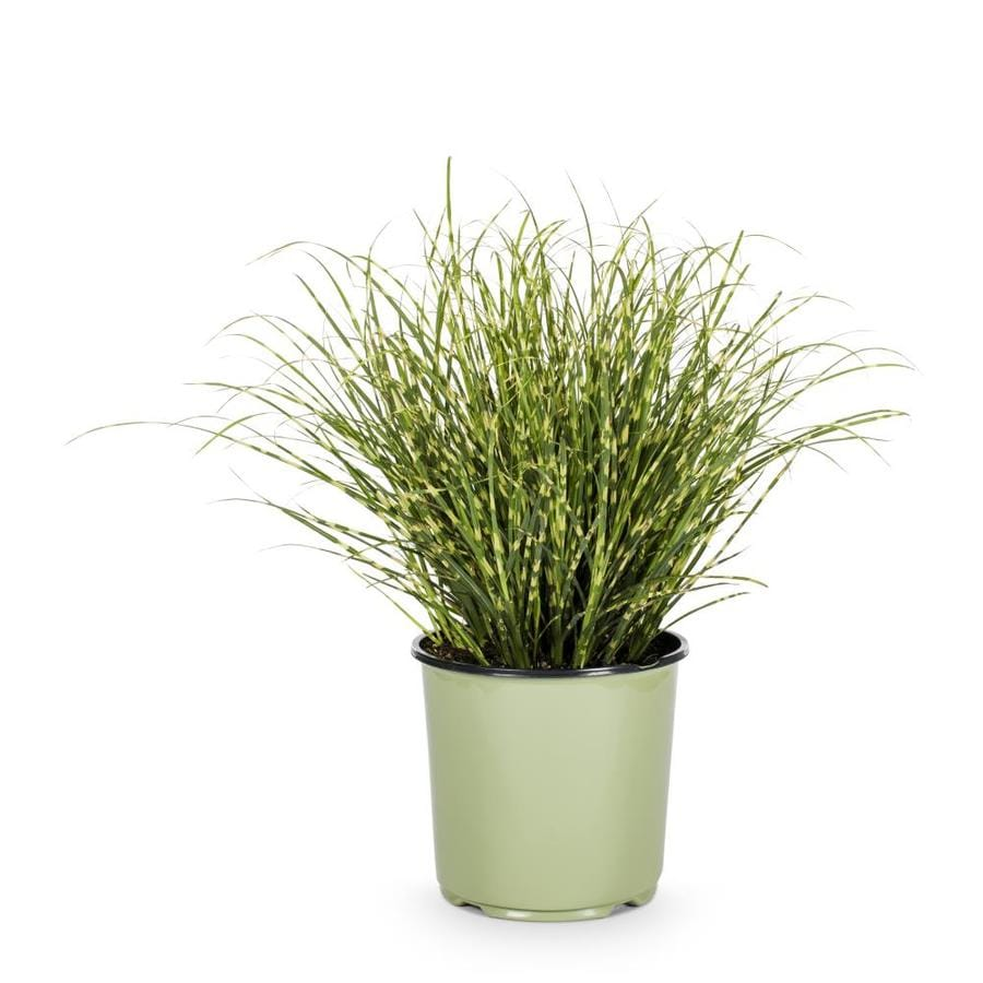 1.5-Gallon Eulalia Grass (L3912)