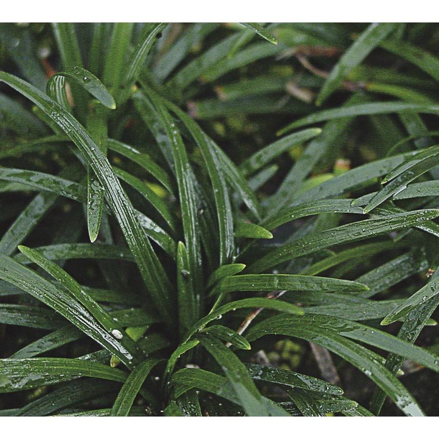 1-Quart Dwarf Mondo Grass Pot (L5449)