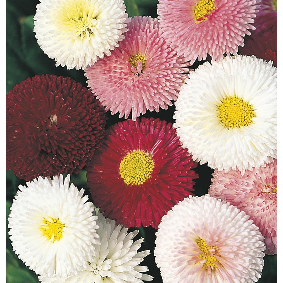6 Pack English Daisy (L24885)