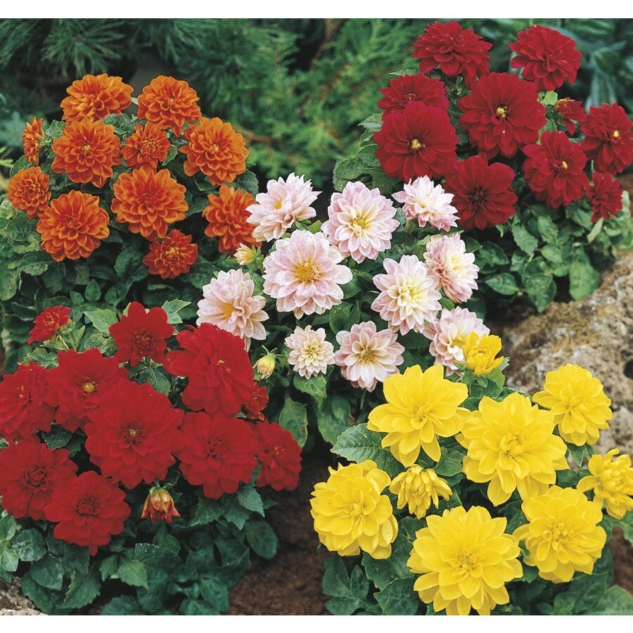 Shop 6 Pack Multicolor Dahlia In Tray L3480 At Lowes