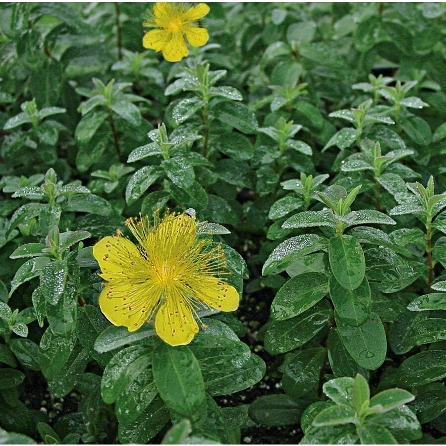 6-Gallon Creeping St. Johnswort (L6967)