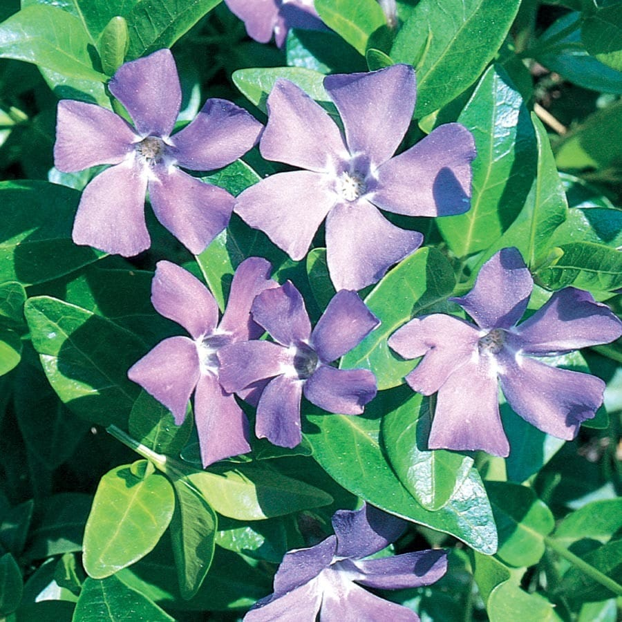 81-Count Periwinkle (L14961)