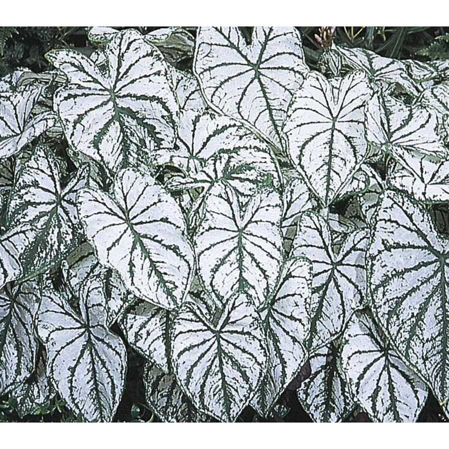2.5-Quart White Christmas Caladium (L15255)