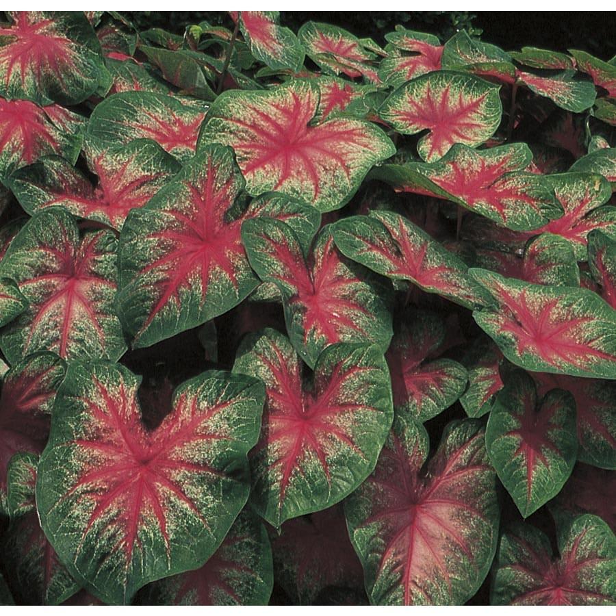 Monrovia 2.5-Quart Rose Glow Caladium (L22397)