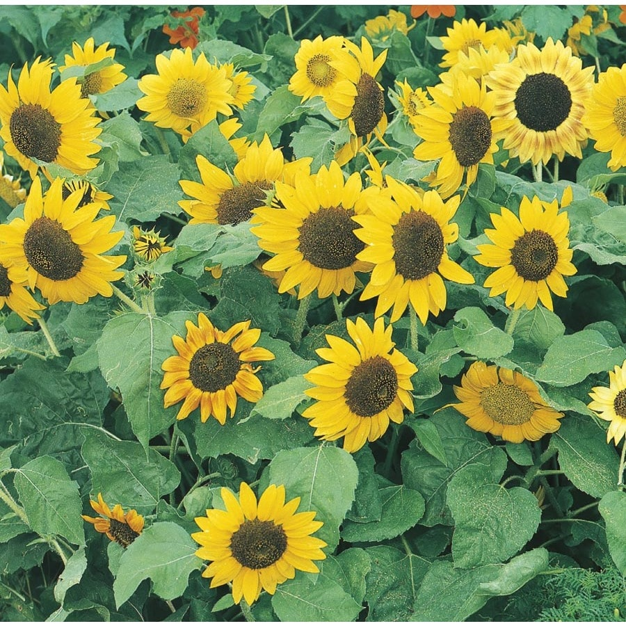 3-Quart Sunflower (L11281)