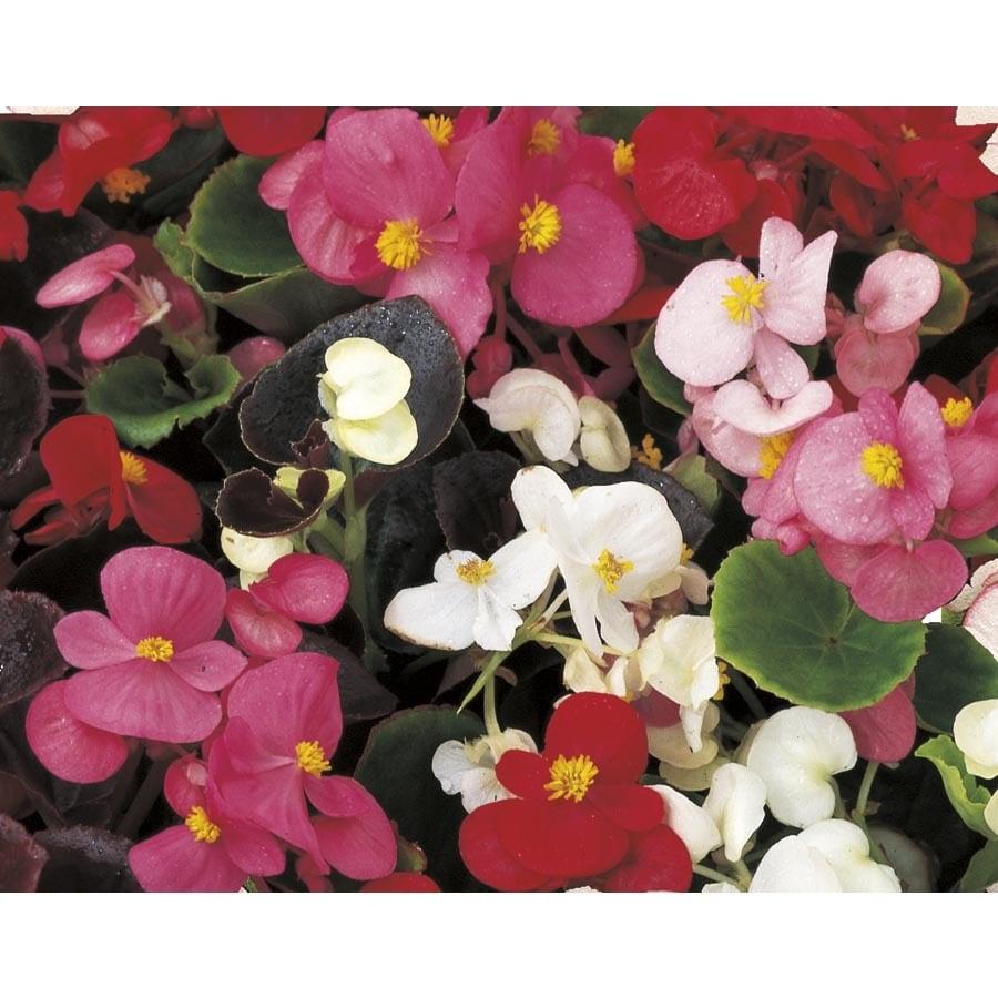 0.5-Flat Begonia (L6589)