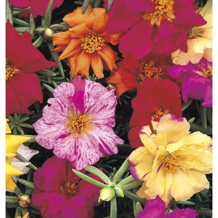 0.5-Flat Moss Rose (L2535)