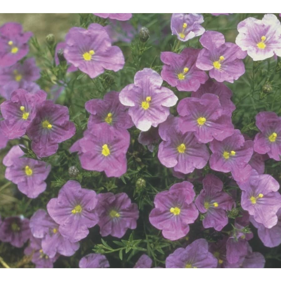 6-Pack Dwarf Cup Flower (LW03821)