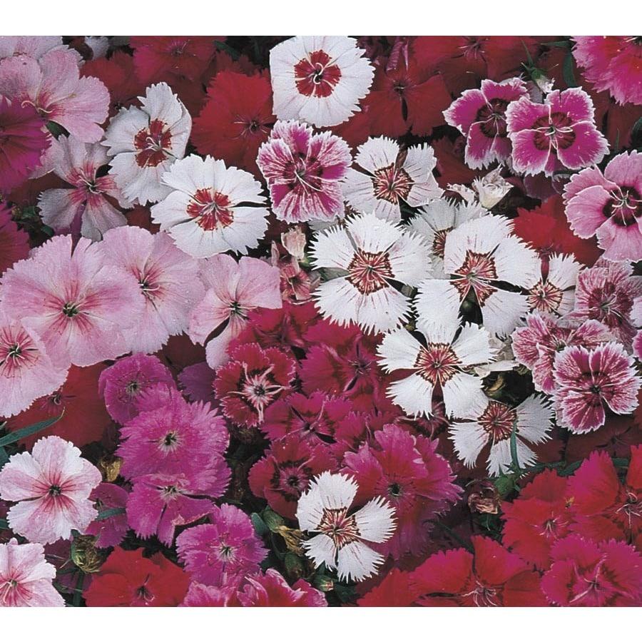 4-Pack Dianthus (L17860)