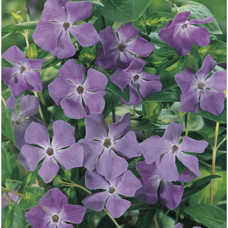 4-Pack Large Periwinkle (L17632)