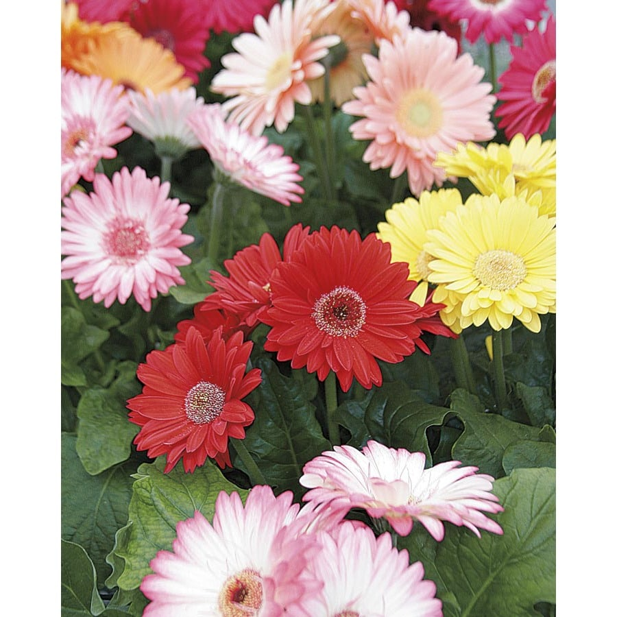 Shop 164 Pint Multicolor Gerbera Daisy In Pot L3114 At Lowes