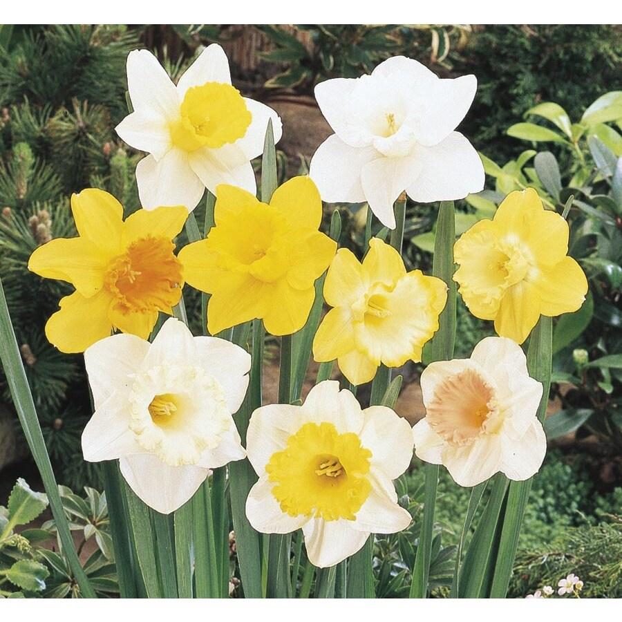 1.64-Pint Daffodil (L17330)
