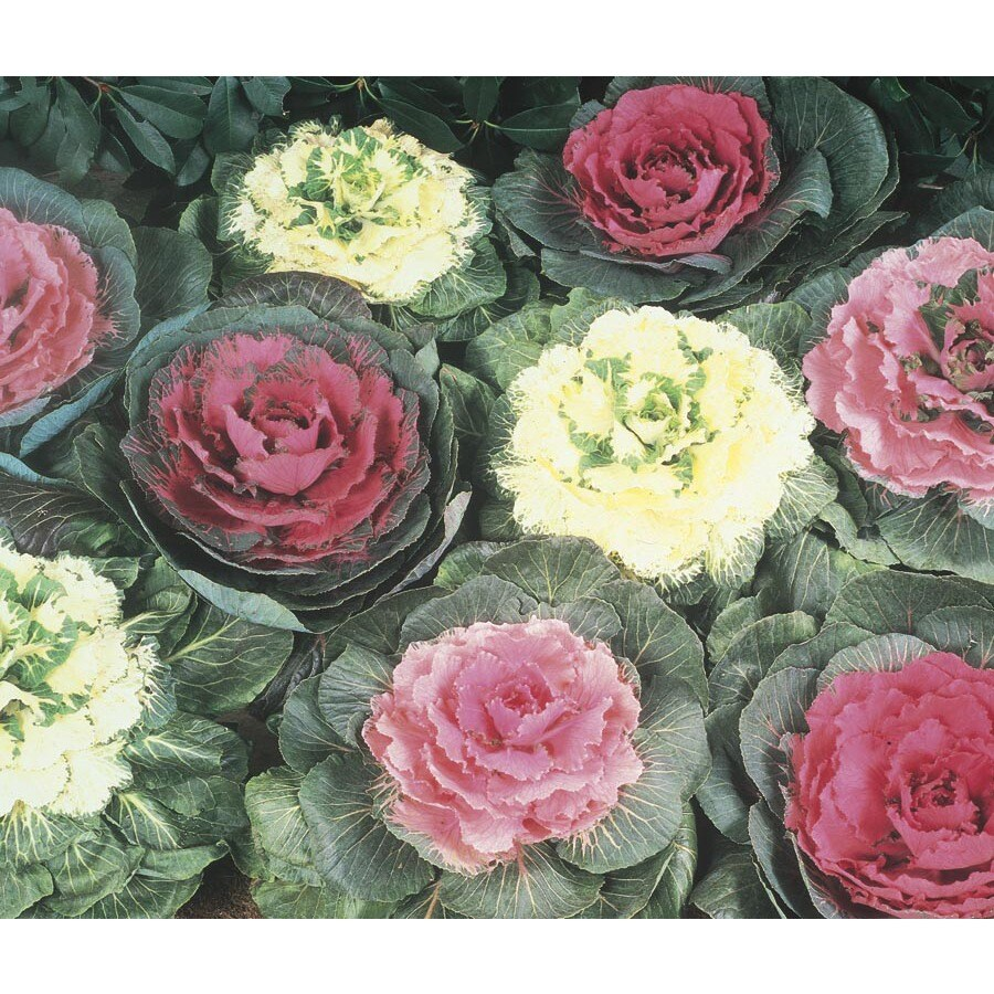 1.5-Pint Ornamental Cabbage (Lbp003)