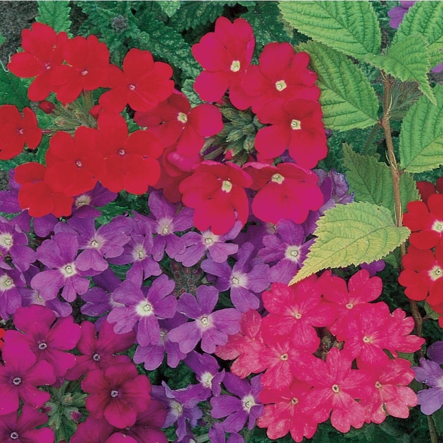 1-Gallon Verbena (L9969)