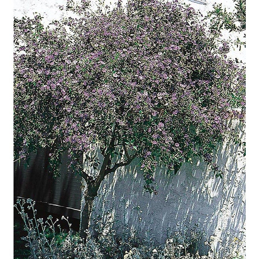 3.25-Gallon Purple Blue Potato Bush Flowering Shrub (L7532)