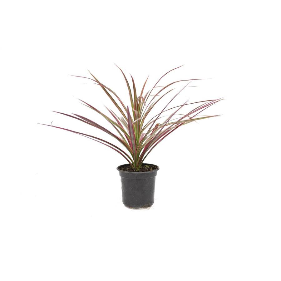 2.5-Quart Cordyline (Lw01509)