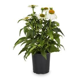 Shop perennials at lowes 25 quart potted purple coneflower l5556 mightylinksfo