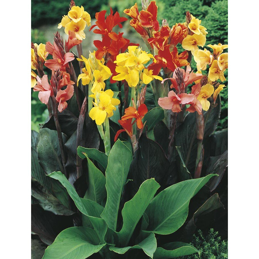 1-Gallon Mixed Canna Lily (Lb3461B)