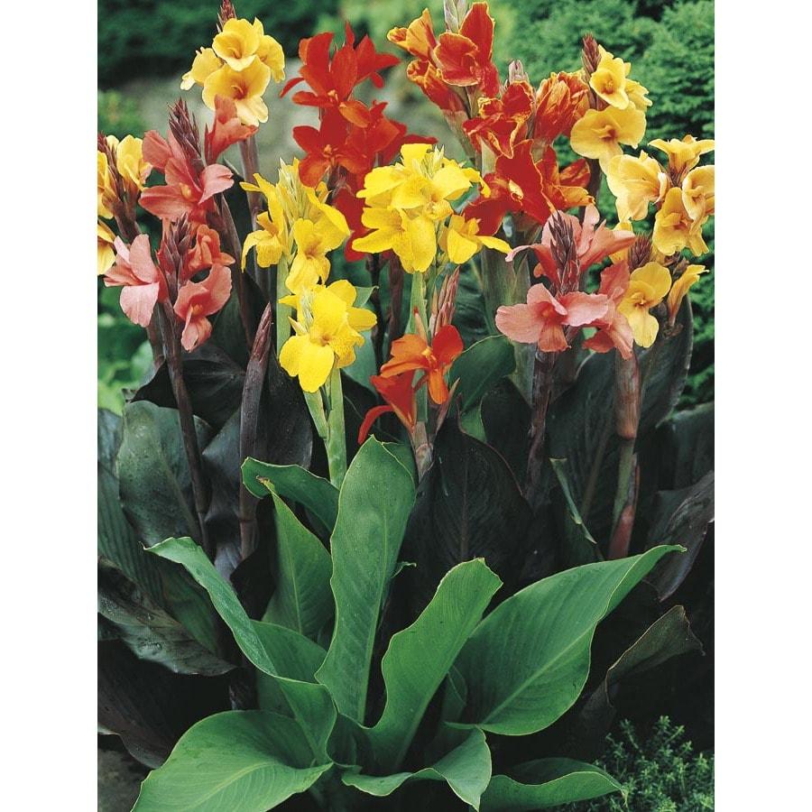 Foimaran canna flowers