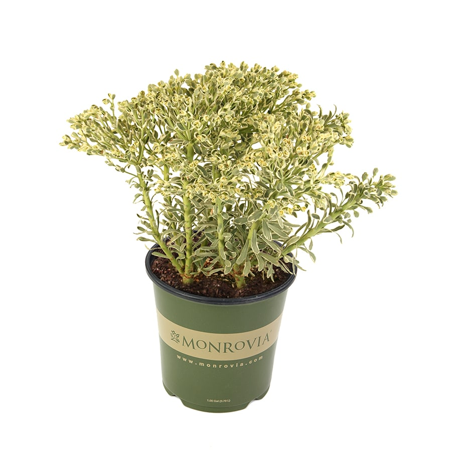 Monrovia 1-Gallon Euphorbia