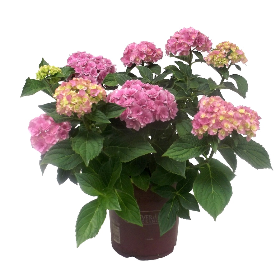1-Gallon Blue or Pink Hydrangea Flowering Shrub