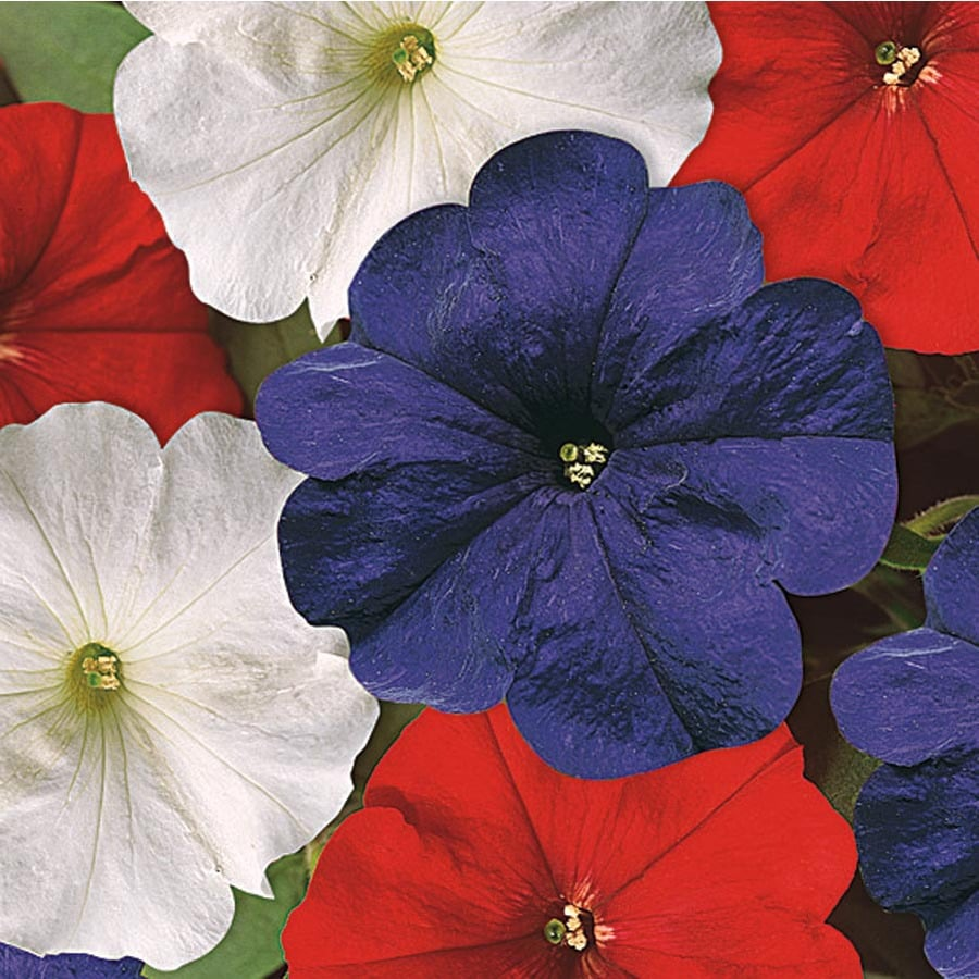1.25-Quart Temporary Red White and Blue Petunia (L27065)