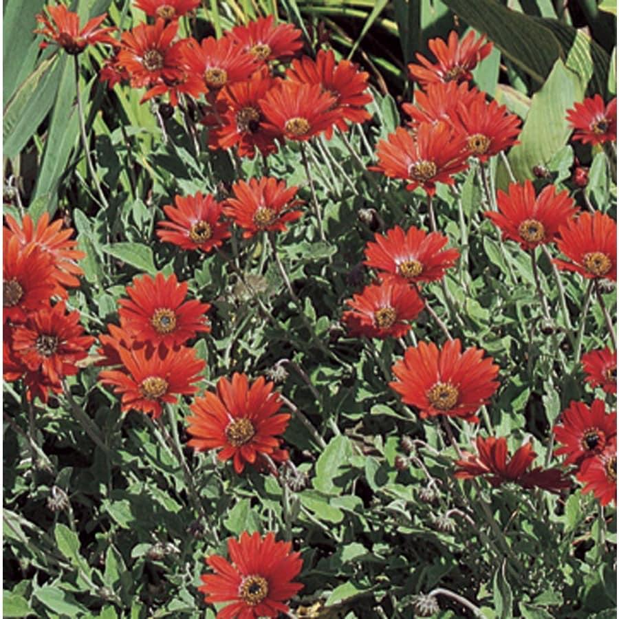 1-Quart African Daisy (L10534)