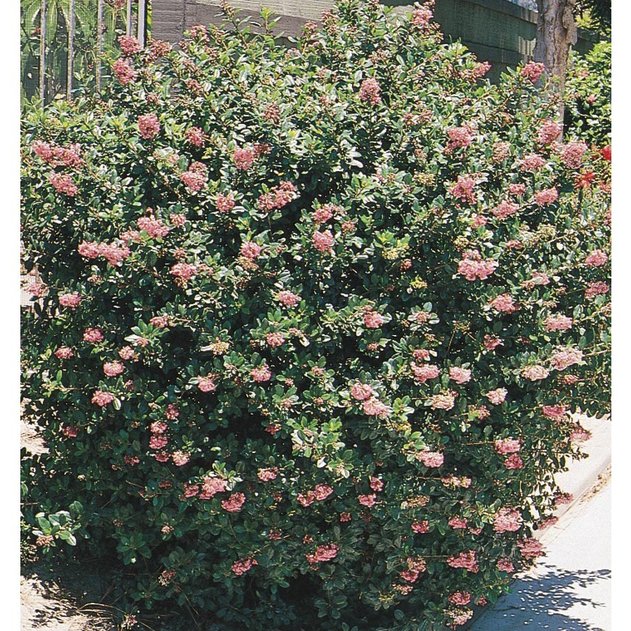 1.5-Gallon Mixed Escallonia Flowering Shrub (L2913)