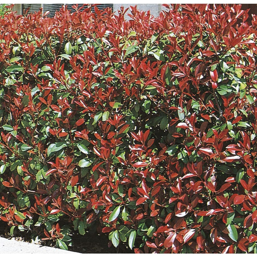 1.5-Gallon White Fraser's Photinia Screening Shrub (L11315)