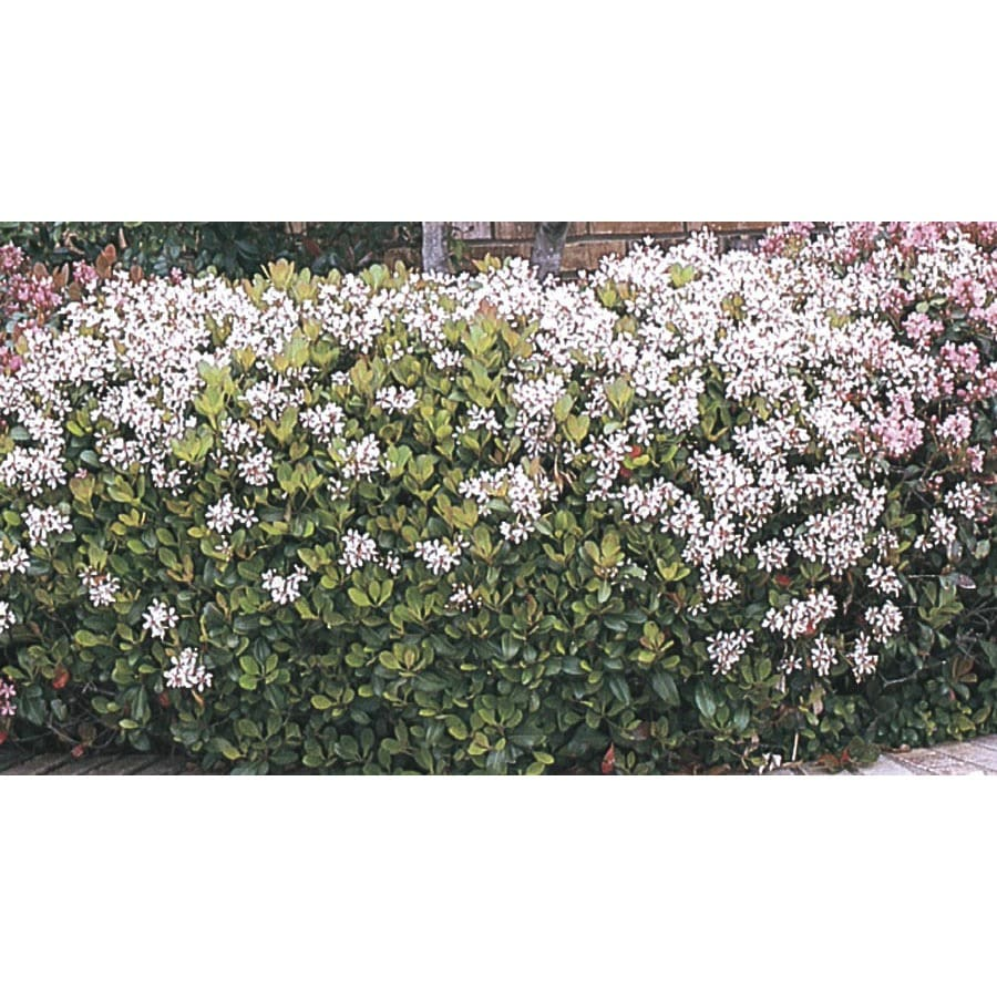 1.5-Gallon Mixed Indian Hawthorn Foundation/Hedge Shrub (L11166)