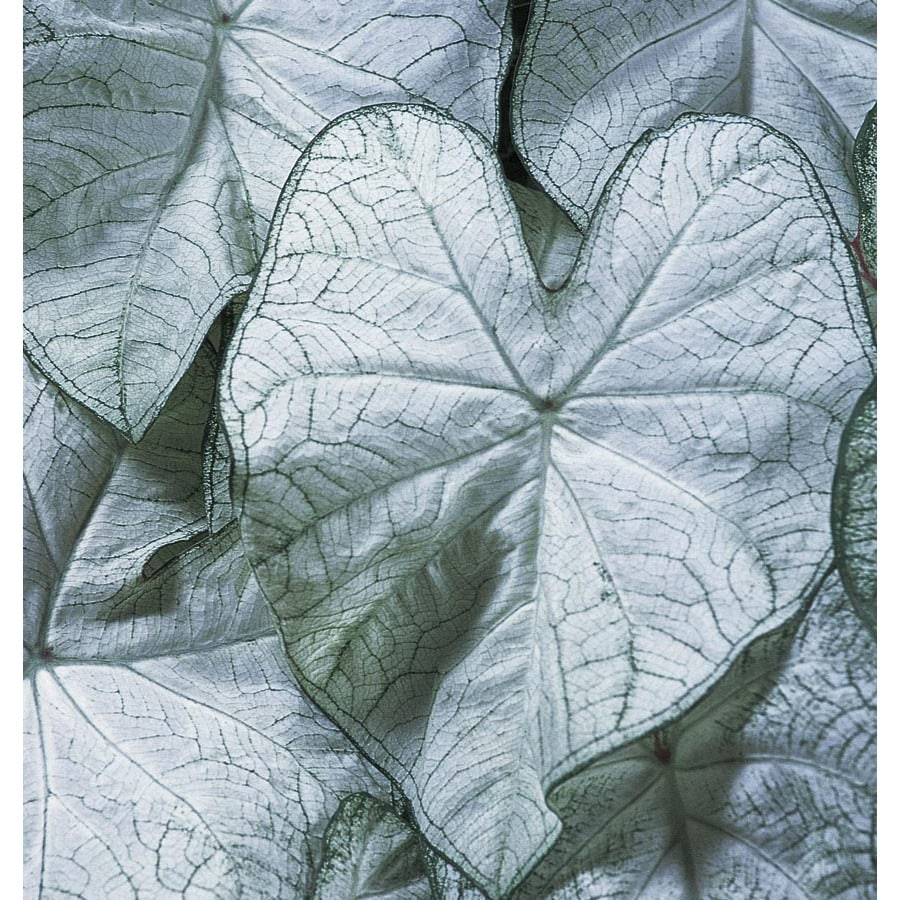 Monrovia 1-Gallon Moonlight Caladium (L22396)