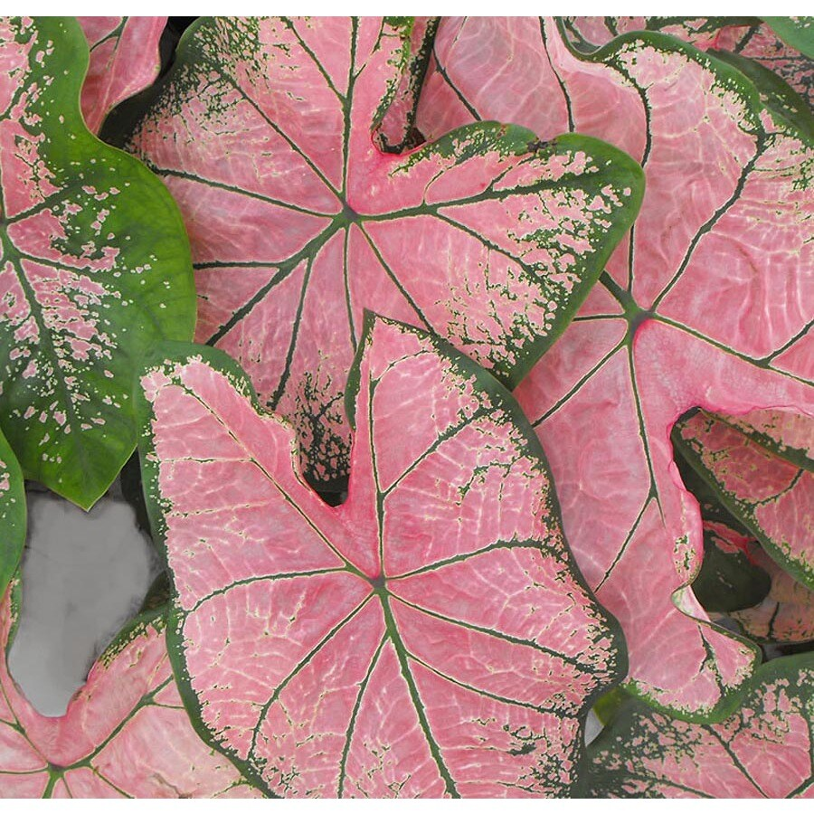 1-Gallon Pink Splash Caladium (L24185)