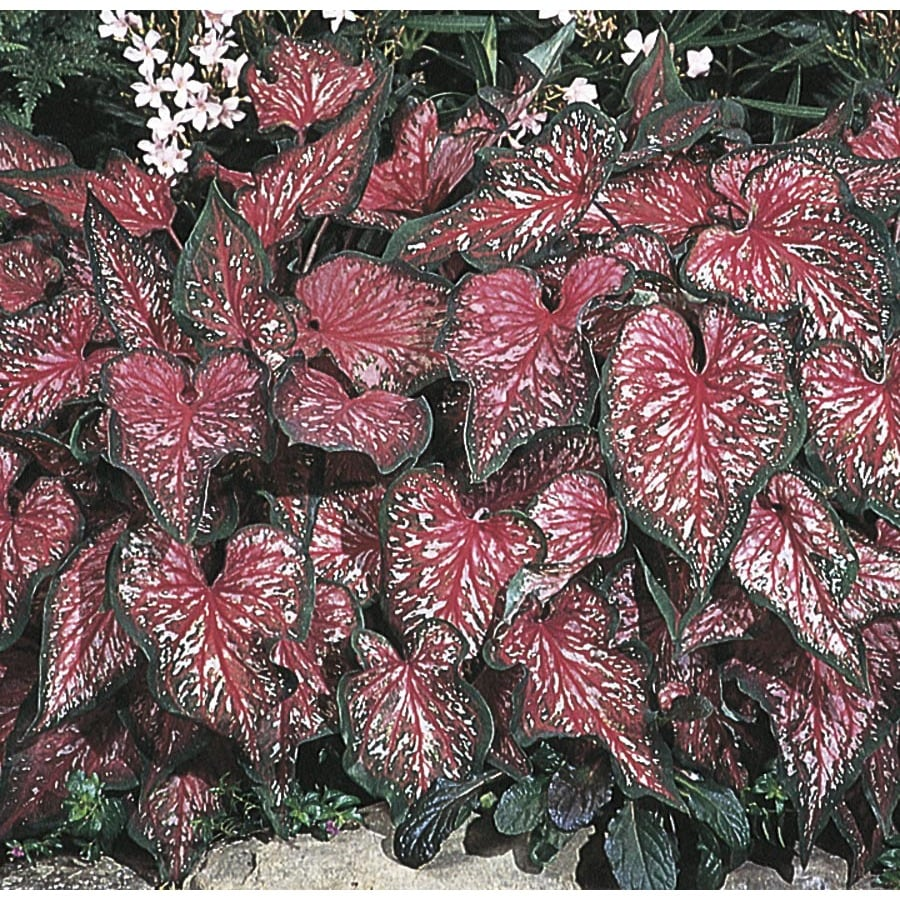 2.5-Quart Lance Whorton Caladium (L21477)