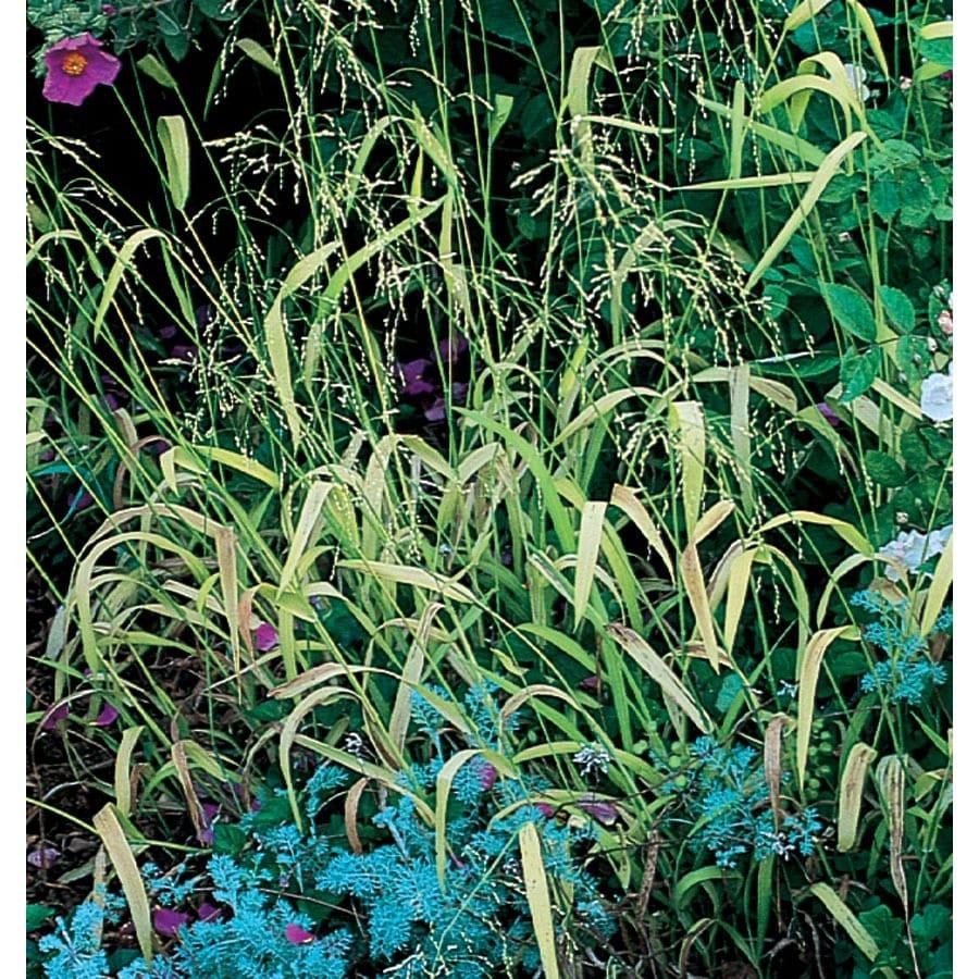 1-Quart Golden Millet Grass (LW02193)