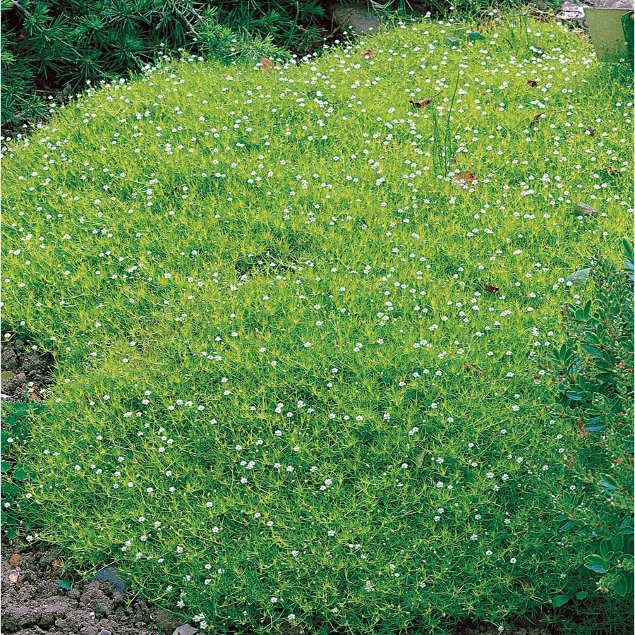 0.5-Flat Irish Moss (LW04022)