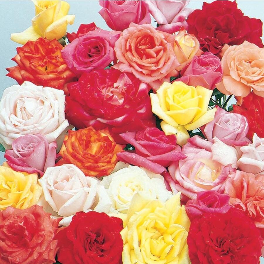 2.55-Gallon Rose (L6023)
