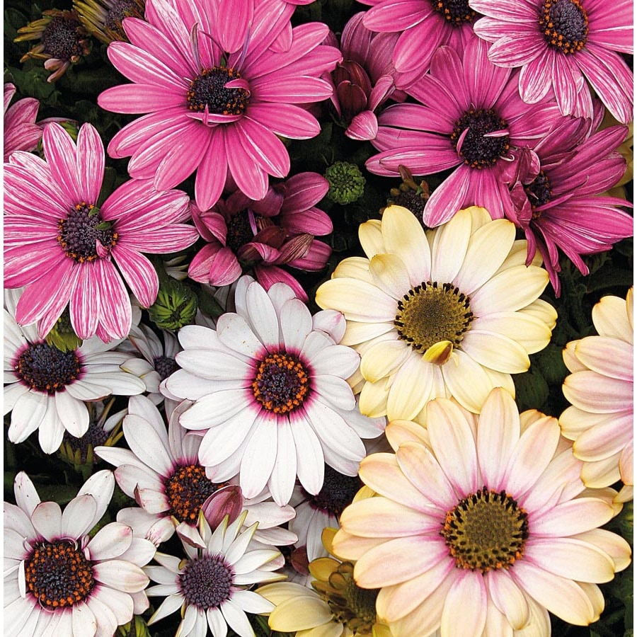 6-Pack African Daisy (L11796)