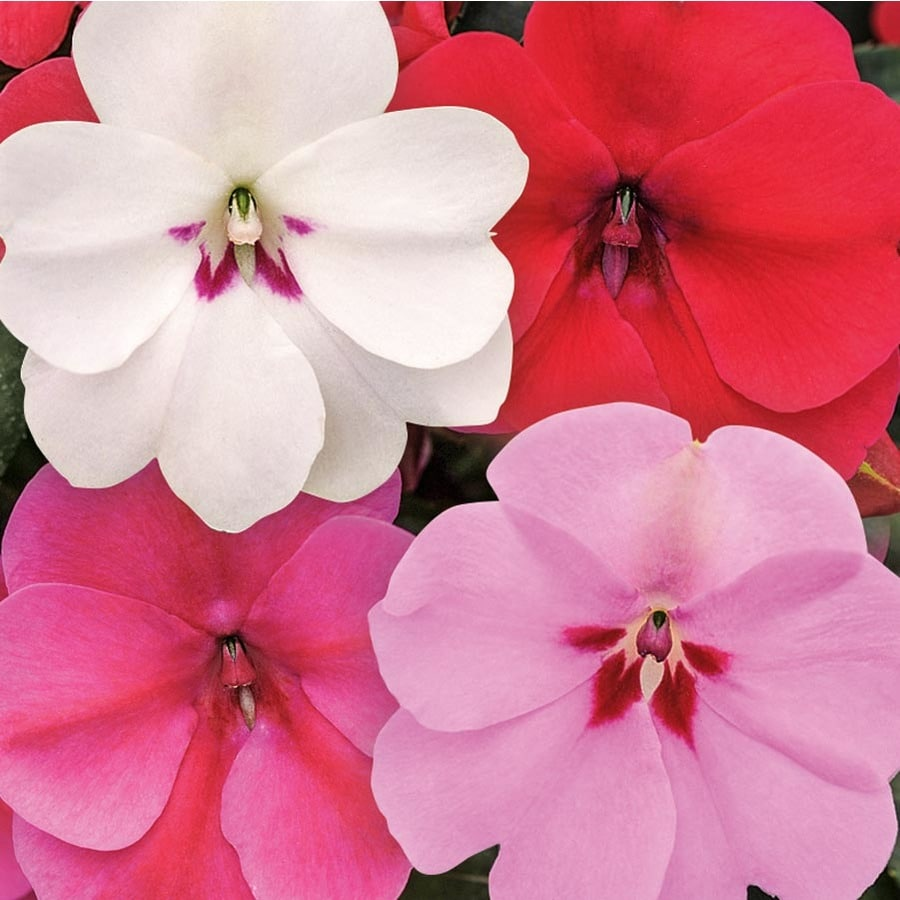 1.5-Gallon Bounce Impatiens (L26836)