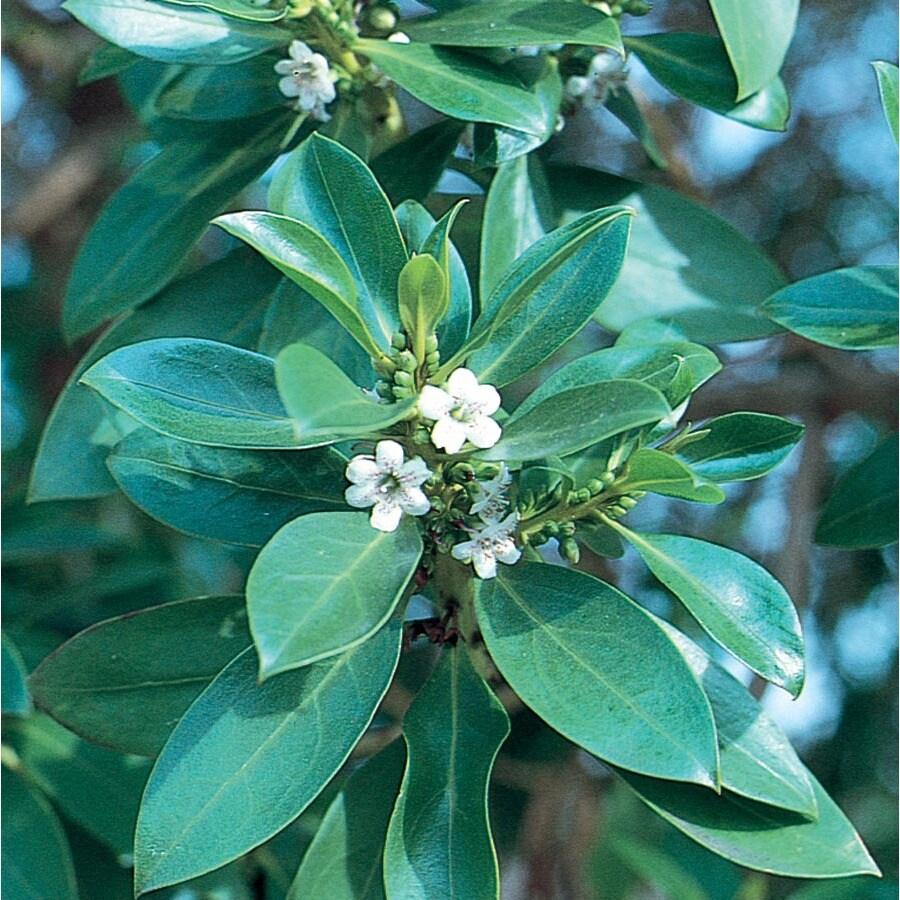 2.5-Quart Ngaio Flowering Tree (L27498)