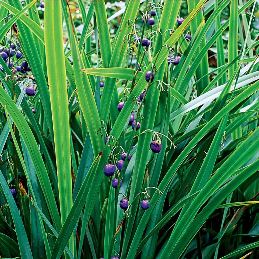 1.5-Gallon Flax Lily (L20613)