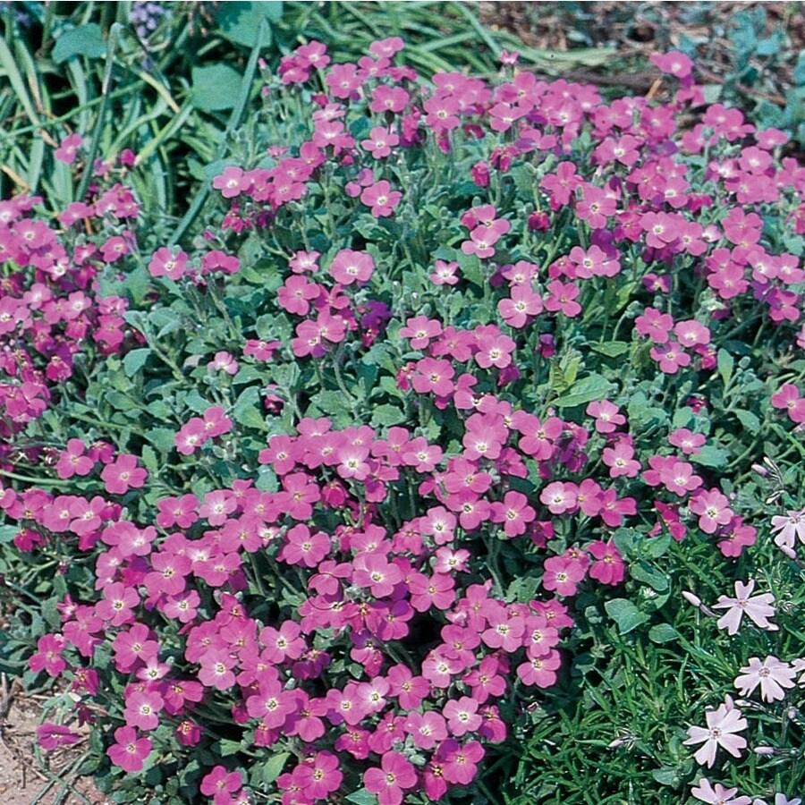 2.5-Quart Purple Rockcress (L4953)