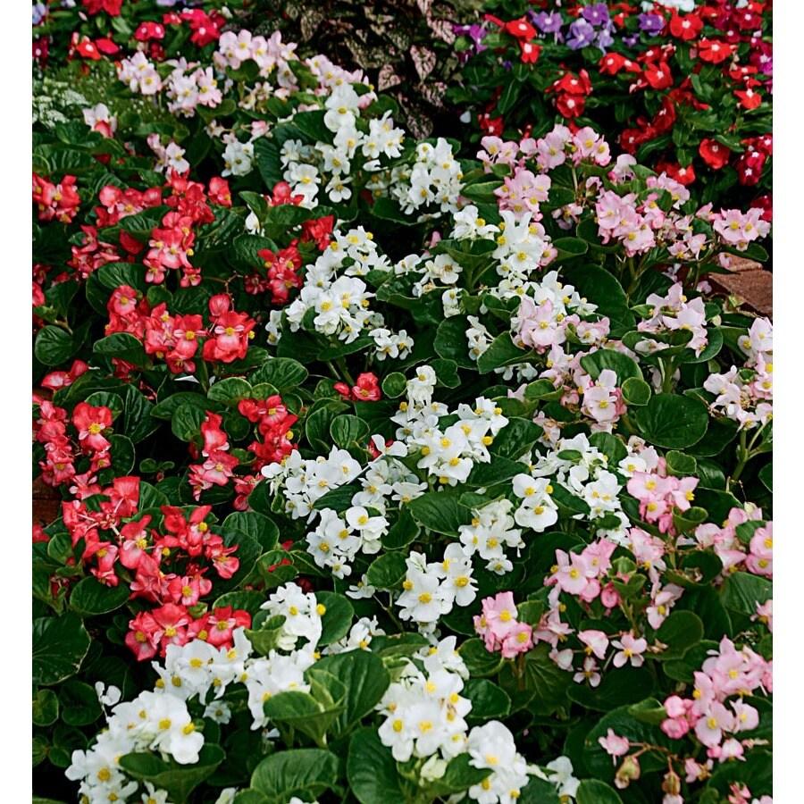 4-Pack Begonia (L6589)