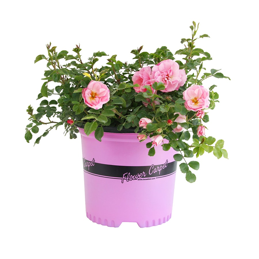 1-Gallon Pink Shrub Rose Flowering Shrub