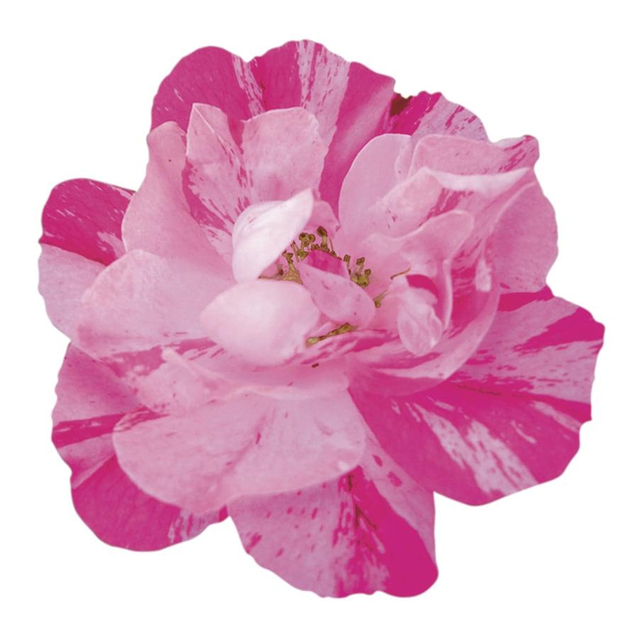 1-Gallon Bicolor Rose Flowering Shrub