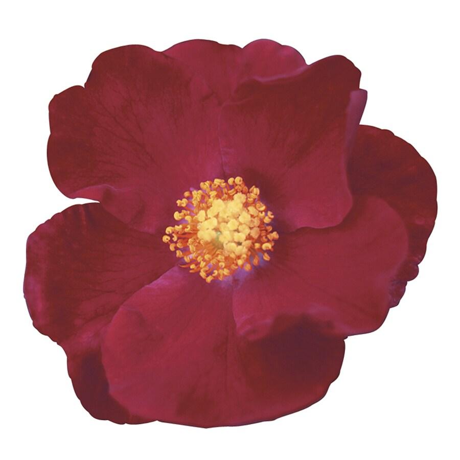 1-Gallon Red Rose Flowering Shrub