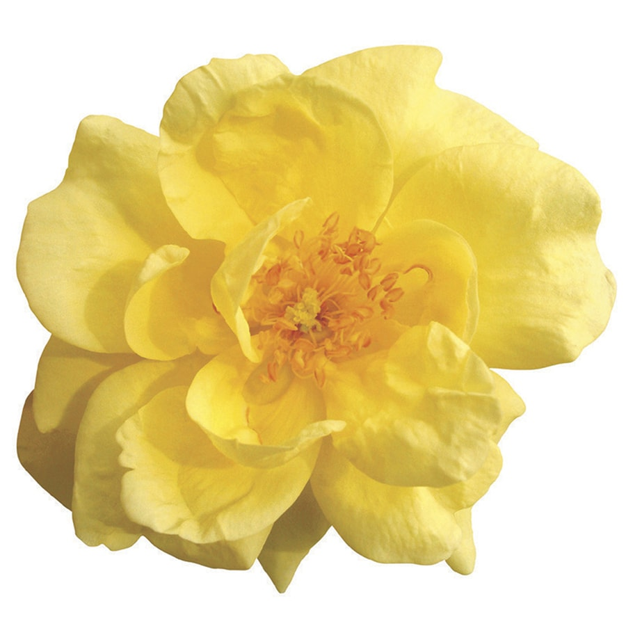 1-Gallon Yellow Rose Flowering Shrub