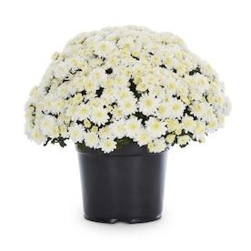 3-Quart White Mum in Pot (L17375)