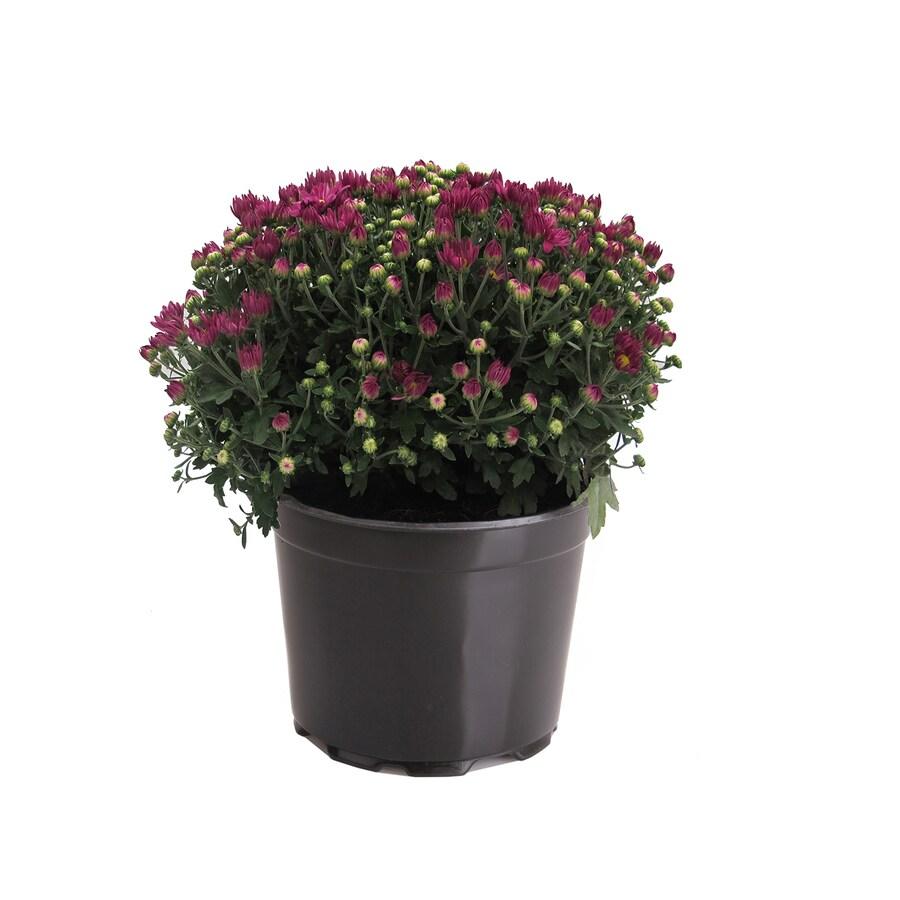 3-Quart Purple Mum (L17375)