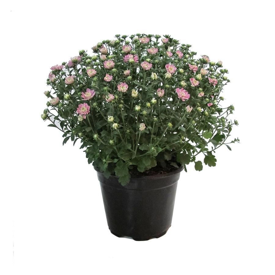 3-Quart Pink Mum (L17375)