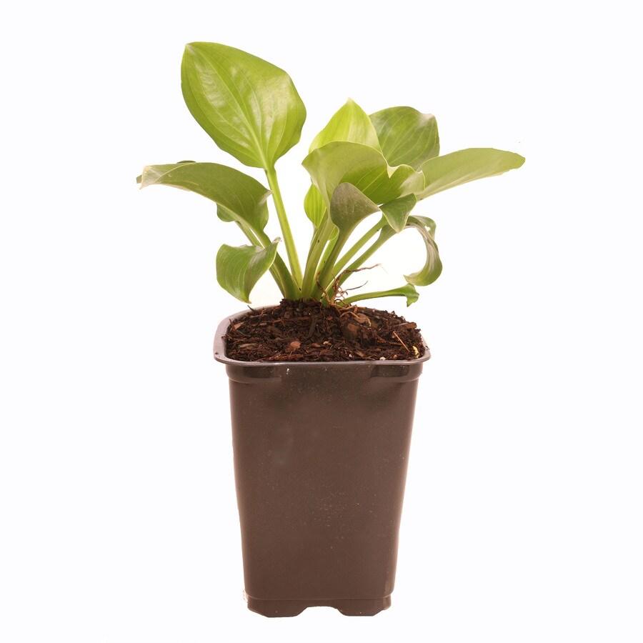1-Quart Plantain Lily